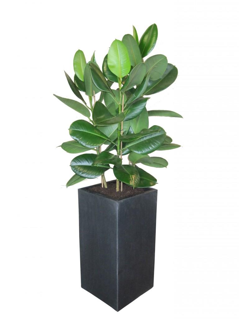 Ficus-robusta